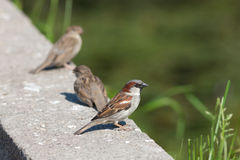 Three sparrows Royalty Free Stock Image