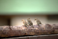 Three sparrows Stock Photos