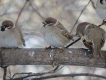 Three sparrows on a branch. Tree. Frost royalty free stock photography