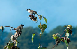 Three sparrows feasting on sunflower seeds Royalty Free Stock Photos