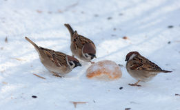 Three sparrows Royalty Free Stock Photography