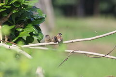 The three sparrows Stock Photography