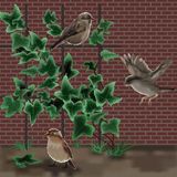 Three sparrows and an ivy behind a brick wall Royalty Free Stock Images