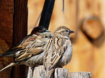 Three Sparrows On Fence Royalty Free Stock Photography