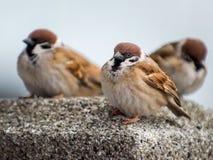Three sparrows perching and looking at the camera. Three cute sparrows perching on a rock and look at the camera Royalty Free Stock Photos