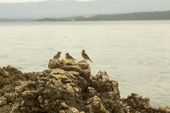 Three sparrows on the rock Royalty Free Stock Photos