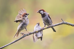 Three sparrows sitting on a branch and bet Stock Image