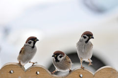 Three sparrows. Stock Images