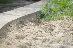Three Sparrows Taking Sand Bath royalty free stock photos