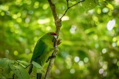 Kakariki Green Parakeet In Forest. The three species of Kakariki or New Zealand parakeets are the most common species of parakeets in the genus Cyanoramphus Stock Image