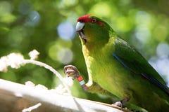 Kakariki Green Parakeet In Sunlight. The three species of Kakariki or New Zealand parakeets are the most common species of parakeets in the genus Cyanoramphus Stock Photo