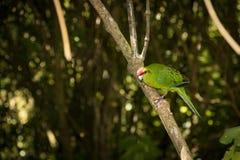 Kakariki Green Parakeet New Zealand Bird. The three species of Kakariki or New Zealand parakeets are the most common species of parakeets in the genus Stock Photo