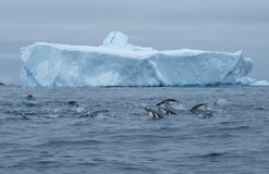 Antarctica gentoo, chinstrap, adelie penguins porpoising and group hunting stock image