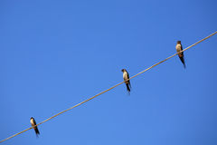 Free Three Speckled Piculet Birds On A Wire Stock Images - 27304294