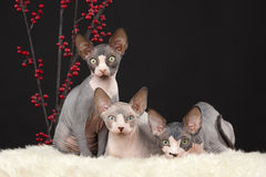 Three sphynx kitten Stock Image