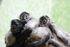 Three spider monkeys Stock Image