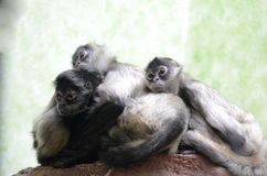 Three spider monkeys2 Stock Image