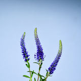 Three Spiked Speedwell Stock Images