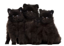 Three Spitz puppies, 2 months old Stock Photo