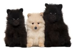 Three Spitz puppies, 2 months old. In front of white background royalty free stock images