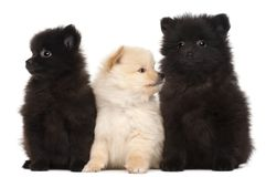 Three Spitz puppies, 2 months old. In front of white background royalty free stock image