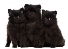 Three Spitz puppies, 2 months old. Sitting in front of white background royalty free stock photo