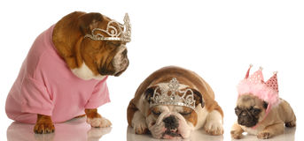 Three spoiled dogs Stock Images