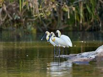 spoonbills royalty free stock photos