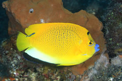 Three Spot Angelfish Stock Photography