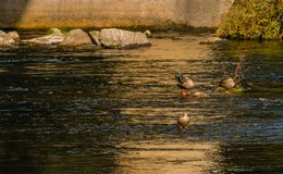 Three spot-billed ducks in a river. One with its head in its wings revealing blue feathers Royalty Free Stock Images