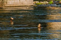 Three spot-billed ducks in a river. Three spot-billed ducks standing in shallow water in a flowing river near a bridge pylon Royalty Free Stock Photography