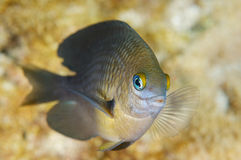 Three Spot Damselfish-Stegastes planifrons Royalty Free Stock Photography