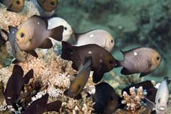 Three-spot dascyllus (dascyllus trimaculatus) Stock Image