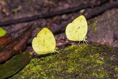 Three-spot Grass Yellow butterflies Stock Photos