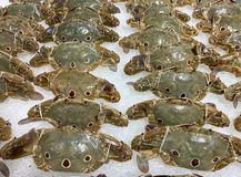 Three-spot swimming crab, fresh from the sea, is tied on ice in department stores stock images