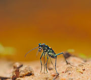 Three spot tiger beetle Royalty Free Stock Photo