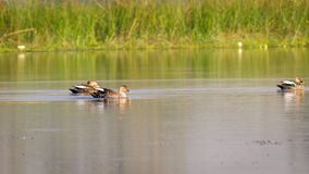 Three Ducks in water, Spotbilled  Royalty Free Stock Images