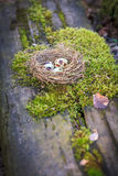 Three spotted quail eggs in hay nest on moss Stock Image