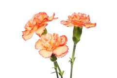 Three spray carnation flowers. Isolated against white stock photography