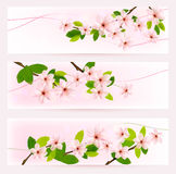 Three spring banners with blossoming tree brunch. With spring flowers. Vector Stock Image