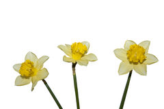 Three spring flowers. (isolated on white Stock Photo