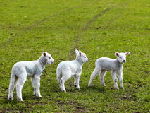 Three spring lambs royalty free stock photography