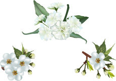 Three spring tree blossoms isolated on white Stock Photography