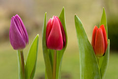 Three spring tulips Stock Images