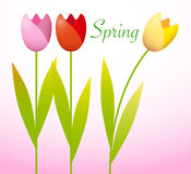 Three Spring Tulips Royalty Free Stock Images