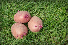 Three sprouted potatoes Royalty Free Stock Photo
