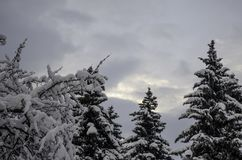 Three spruces in the winter sky. It`s three spruces in the winter sky in feburary in Moscow royalty free stock image