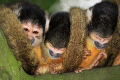 Three squirrel monkey's sleeping in a tree Stock Images