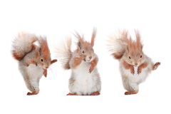 Three squirrel Royalty Free Stock Images