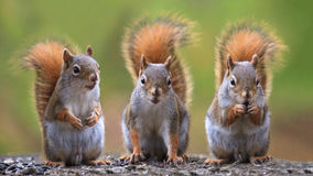 Three squirrels. Close up shot of three squirrels Stock Photo